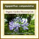 Purplish blue African perennials flower