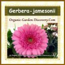 Gerbera jamesonii in medium pink