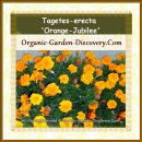 A Tagetes-erecta in full bloom