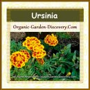 Ursinia flowers are blooming joyfully
