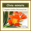 Wide opened attractive perennial flowers with 6 bright orange petals