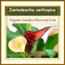 Multi-coloured Zantedeschia aethiopica blooming indoor