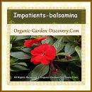 Chilli red Impatiens