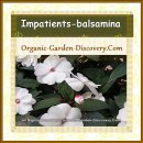 Impatiens flowers are happy to be grown in earth-pot