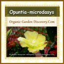 Widely opened decorative tropical cactus flower in soft yellow