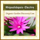 Rhipsalidopsis-electra has sharp pink petals and a white heart