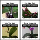 A new orchid flower shoot appeared; followed by 4 purple red buds and 2 blooming charming flowers.