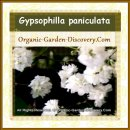Gypsophilla paniculata's white mini everlasting wedding flowers