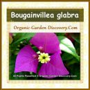 Reddish Purple Bougainvillea glabra