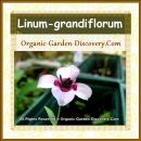 Bright eyes Flax Linum grandiflorum flower with a white and dark red heart