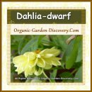 Dwarf variety of dahlia attracts insects