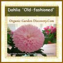 Fully filled Dahlia is great for your indoor vase