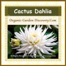 White cactus Dahlia flower is opening