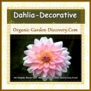 Fully filled Dahlia Decorative