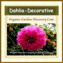 Deep pink rounded Dahlia