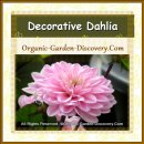 Multi layers of sharp pointed petals Dahlia flower