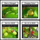The cherries are getting bigger and changing colours in the month of June.
