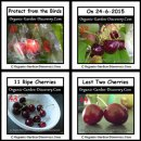 Harvest dark red ripe cherries on 24th June 2015.