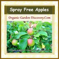 Four spray free pink and green apples were hanging between plentiful of leaves in June 2014