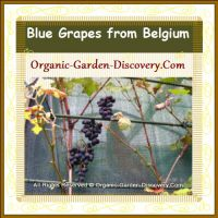 Three clusters of blue grapes were rippening on a Belgium vine in September 2014