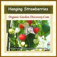 Container grown strawberry plant was hanging plentiful of red and creamy white fruits in May 2014
