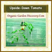 A large upside-down greenhouse tomato plant was thriving in July 2011