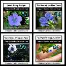 Flax flowers will become purplish and transparent when the strong sunlight is shining through them