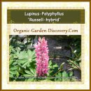Lupinus-Polyphyllus hybrid is insects beloved