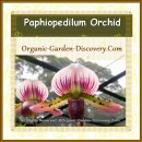 Paphiopedilum Orchid in greeen, pink and brown