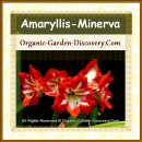 Bright red and white Amaryllis can be grown indoor as well as outdoors atmosphere