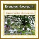 Eryngium-bourgatii is an everlasting flower