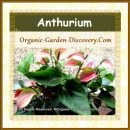 Anthurium in mix of colours