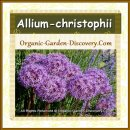 Sweet Allium-christophii is flowering in a ball shape