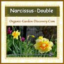 Double petals Narcissus is an attraction in your spring garden