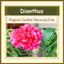 Dianthus flower in pink