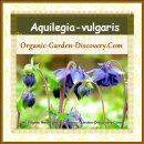 Aquilegia can stand straight upright in your garden