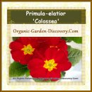 Cheerful Primula-elatior Colossea in bright red