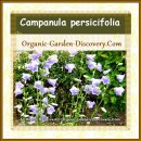 Campanula persicifolia are blooming in mid-spring