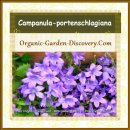 Campanula-portenschlagiana is a great ground covering plant