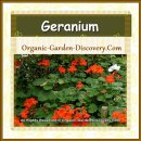 Red Ground Cover from Geraniums