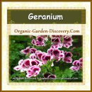 Geranium Pink and deep pink with white edge