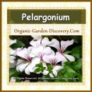 Pelargonium-x-peltatum Flowers in pink with darker pink strips on the petals