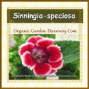Dark red summer blooming Gloxinia flower can keep indoor