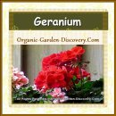Plain red Geranium is growing in a stone container