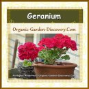 Medium pink Geranium growing in an earth-pot outdoor