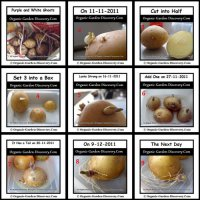 Sprouting and growing non-edible potato project for children and adults