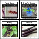 Growing purple hulled beans, Purple Queen from seeds to harvest.
