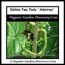 Growing edible pea pods in raised bed during early summer.