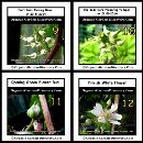 On the day 185 the black berry buds were turning down and produced a wide opened pinkish white flower