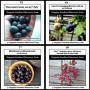 Harvest healthy blueberries in mid-summer and the plant is ready for the next cycle of growth